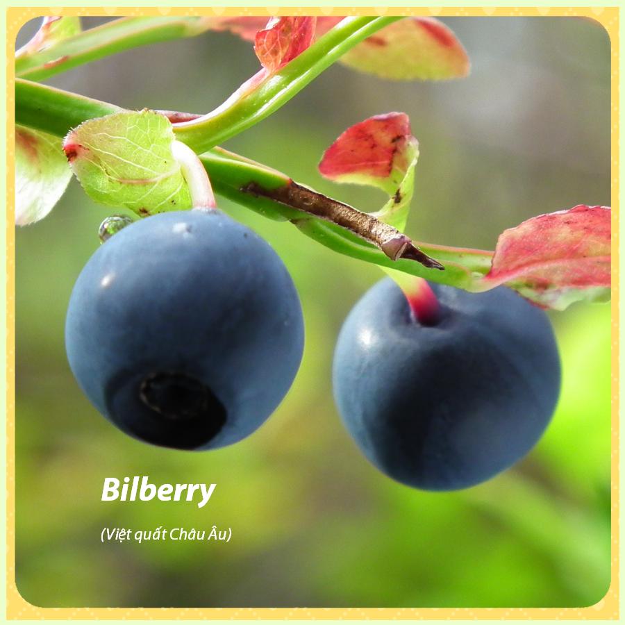 bilberry-viet-quat-Chau-Au